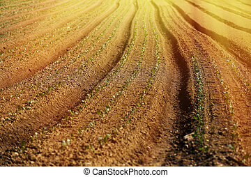 Cultivated vegetable field on an organic farm, glowing in morning sunshine