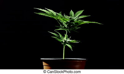 Cultivating marijuana at home in pot, sativa weed bush on black background. Organic grow of cannabis for medical use. treatment or studies. Legal System, Legalization, Recreational Drug concept