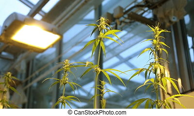 Cultivation laboratory growth flowers hemp, reflector light...