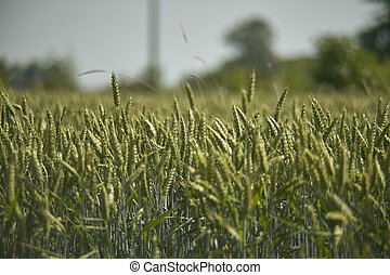 Cultivation of barley