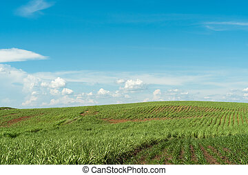 Cultivation of corn at the base of the mountains in the valley.