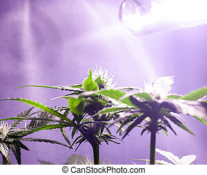 cultivation of marijuana in indoor under artificial lights. cannabis bud growing