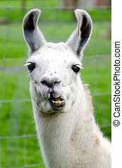 cultive animales, -, lama