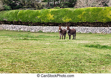 cultive campo, dois, burros