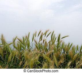 cultive campo, grão, crescendo