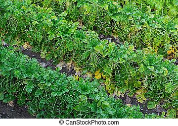 cultive campo, planta, rabanetes