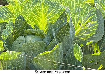cultivo, de, kale
