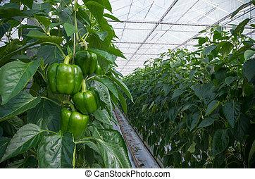 cultivo, de, pimentões
