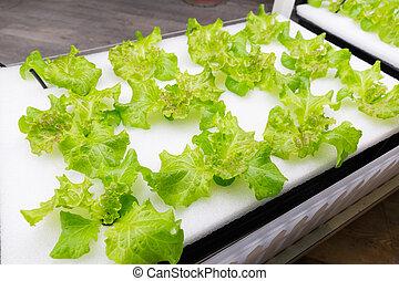 cultivo, legumes, indoor, sistema, hydroponics