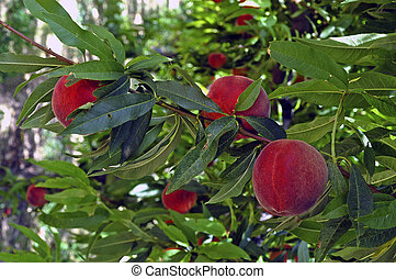 culture of peaches