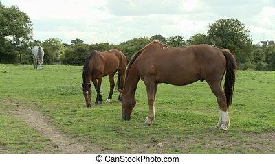 cultures, trois, chevaux