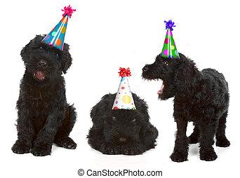 cumpleaños, negro, ruso, terriers
