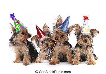 cumpleaños, tema, terrier de yorkshire, perritos, blanco
