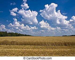 cumulus clouds over a field of ripe wheat