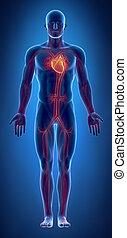cuore, ardendo, sistema, cardiovascolare