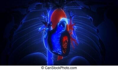 cuore, con, sangue, azione, primo piano, animazione