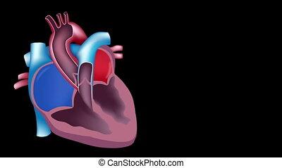 cuore, sangue, flusso, cappio