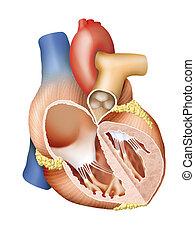 cuore, sezione, croce, umano