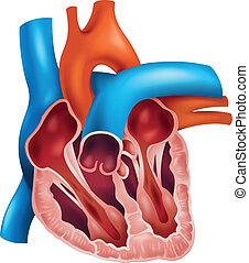 cuore, sezione trasversale