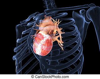 cuore, umano, raggi x