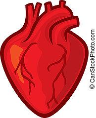 cuore umano