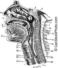 Cup antero-posterior of the oral cavity and throat back revealing the cavity of the pharynx, vintage engraved illustration. Usual Medicine Dictionary - Paul Labarthe - 1885.
