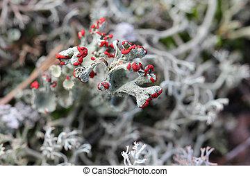 cup), duendecillo, (red, liquen, coccifera, cladonia