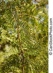 cupressaceae, baum