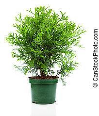 cupressaceae, familia , thujopsis, ciprés, aislado, plano de fondo, conífera, blanco