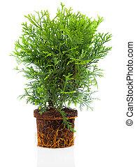 cupressaceae, familie, thujopsis, zypresse, freigestellt,...