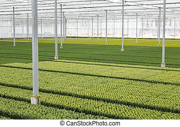 cupressus, выращивание, теплица, голландский