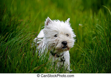 Cure white westland terrier dog in grass field