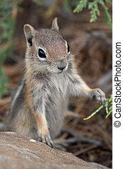 curieux, écureuil rayé
