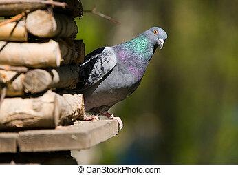 curieux, pigeon