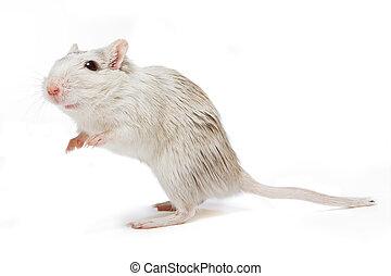 curieux, rat
