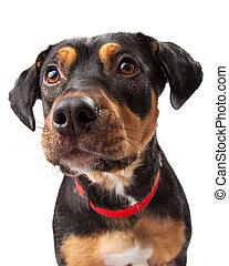 curieux, rottweiler, chien, mélange, portrait