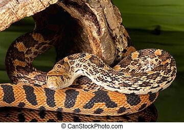 curieux, serpent