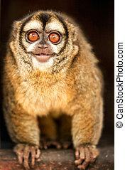 curieux, singe, hibou