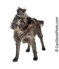 curieux, tête, terrier, inclinable, chien