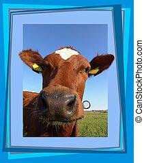 curieux, vache