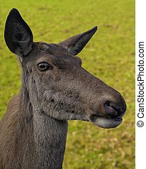 Curios - Portrait of a young deer