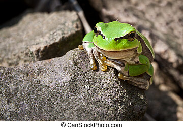 Curiosity green frog on a rock