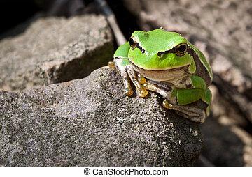 Curiosity green frog on a rock