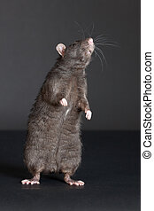curiosity - standing black rat on a black background