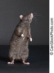 curiosity - standing black rat on a black background