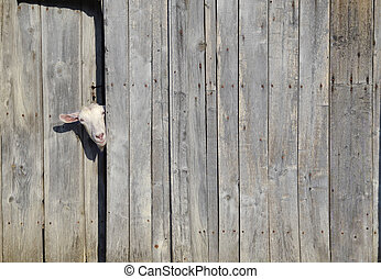 Curiosity - Curious goat peeking through the door of a...