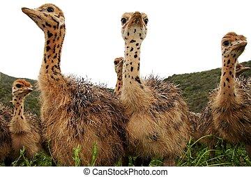 curioso, avestruz, polluelos