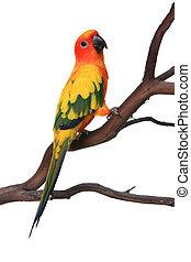curioso, conure de sol, pájaro, en un rama