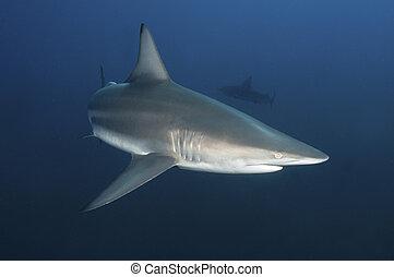 curioso, squalo