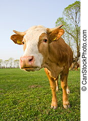 curioso, vaca